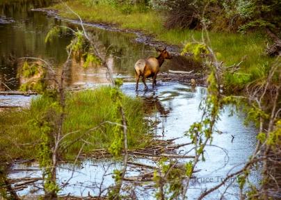 elk in water